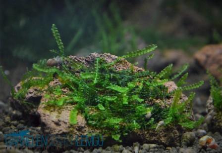 Perlen Moos auf Lava - Heteroscyphus zollingeri