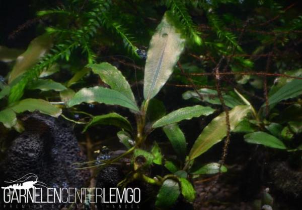 Bucephalandra Sp. Brownie Oval, submers, auf Lava (1133)