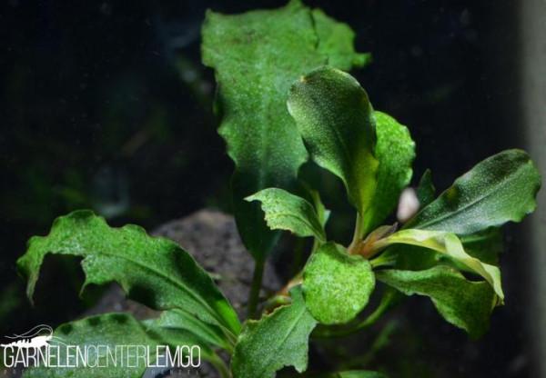 Bucephalandra Sp. Wavy Green, submers, auf Lava (522)