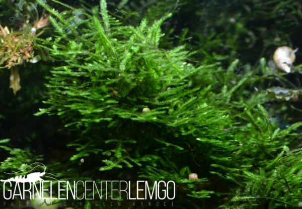Erect Moos (Vesicularia reticulata) - 1632