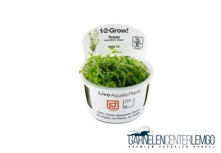 Rotala Rotundifolia Green - inVitro