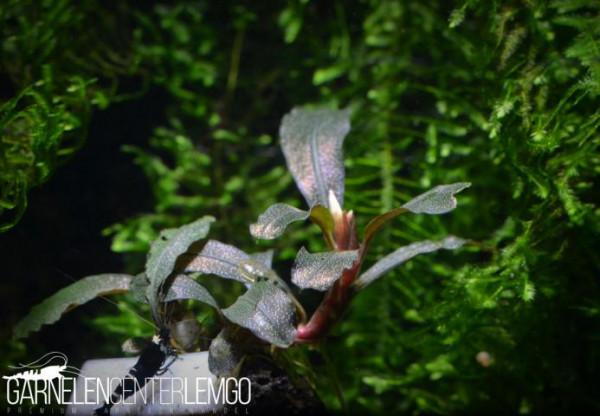 Bucephalandra Sp. Lamandau Mini Purple, submers, auf Lava (1522)