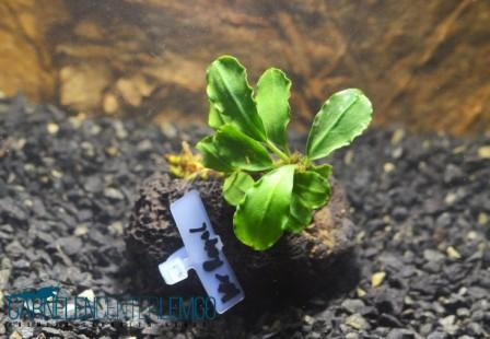 Bucephalandra Sp. Pygmeae - Kir Royale auf Lava *Rarität* (332)