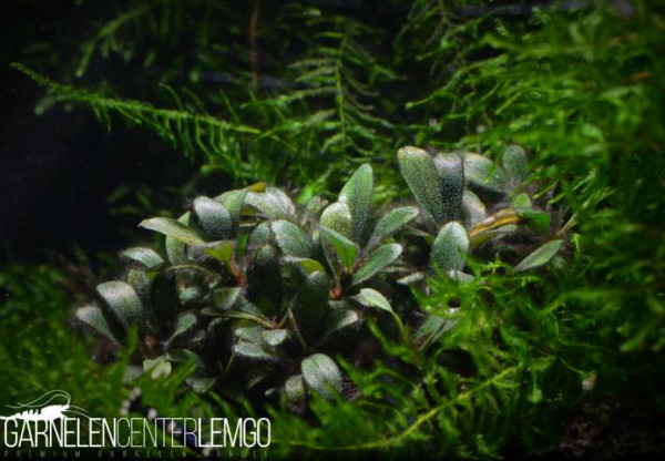 Bucephalandra Sp. Melawi Mini, submers, auf Lava (221)