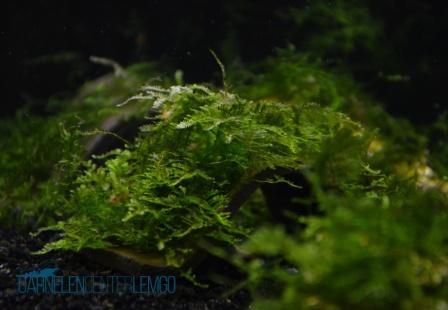 Mini Christmas Moss - Vesicularia sp. (1022)
