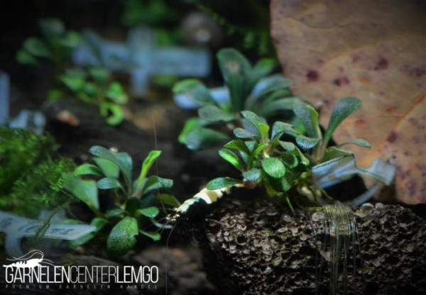 Bucephalandra Sp. Black Tears, submers, Rhizom (432)